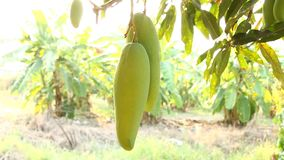 Mangoes  tree with sunlight, chiangmai Thailand. Mangoes tree with sunlight, chiangmai Thailand stock footage