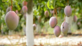 Mangoes tropical fruit hanging at branch in a plantation full of mangoes. Mango tropical fruit hanging at branch of tree in a plantation stock video footage