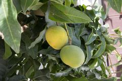 Mangoes tropical fruits on branches on the tree. Ripening tasty products Stock Photography