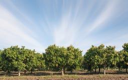 Mangofeld, Hintergrund des blauen Himmels des Mangobauernhofes Lizenzfreies Stockbild