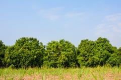 Mangofeld, Mangobauernhof mit Mango trägt Früchte, hängend, gegen blaues s Stockfotos