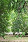 Mangofruchtbearbeitung und -ernte Stockfotografie