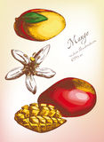 Mangofruchtsatz, Farbvektorillustration Stockfotos