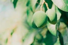 Mangofrukten på trädet Royaltyfria Foton