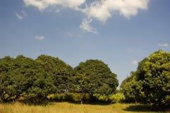 mangofruktträdgård Royaltyfri Fotografi