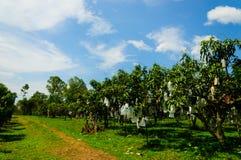 Mangogarten mit blauem Himmel lizenzfreie stockfotografie
