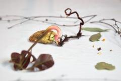 Mangogrodd på dess väg till den nya krukan Arkivbild