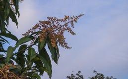 MangoInflorescence Arkivbild