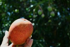 Mangojahreszeit Stockbild