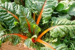 Mangold im Gemüsegarten stockfotos