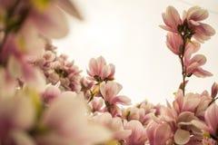 Mangolia blommor Royaltyfri Foto