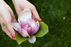 Mangolia flower in female hands Royalty Free Stock Images