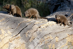 Mongoose - Herpestidae Royalty Free Stock Photos