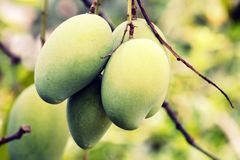 mangopflaumen Stockbilder