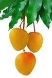 mangopflaumen Stockfotos
