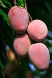 Mangos Royalty Free Stock Photos