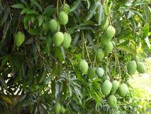 Mangos de las frutas en el árbol antes de la cosecha fotos de archivo
