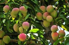 Mangos de maduración en árbol Fotografía de archivo