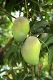 Mangos en árbol Imagen de archivo libre de regalías
