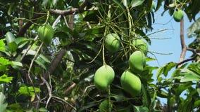 Mangos en árbol de mango