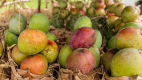 Mangos at a local fruit stand Royalty Free Stock Image