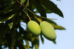 Mangos and mango trees. In the gardens royalty free stock image