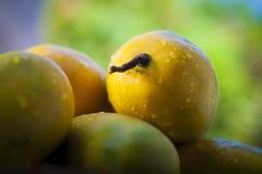 Mangos populares de Kesar Imagen de archivo libre de regalías