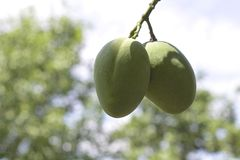 Mangos que maduran en el árbol Imagen de archivo libre de regalías