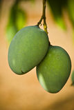 Mangos. Two mangoes on a tree royalty free stock image