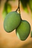Mangos Royalty Free Stock Image