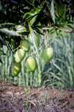 Mangos. Two mangoes on a tree royalty free stock photo