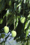 Mangos. Two mangoes on a tree stock photo