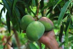 Mangos verdes en el árbol Fotos de archivo libres de regalías
