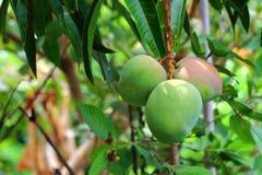Mangos verdes en el árbol Foto de archivo