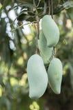 Mangos verdes en el árbol de mango Fotografía de archivo