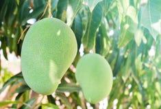 Mangos verdes en jardín Imagen de archivo libre de regalías