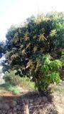 Mangoseasion royalty-vrije stock fotografie
