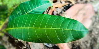 Mangosidor arkivfoto