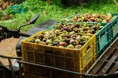 Mangostán fresco; Fruta exótica en Tailandia Imagen de archivo