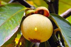 Mangostán joven. Fotografía de archivo libre de regalías
