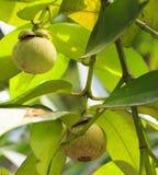 Mangostán verde Foto de archivo libre de regalías