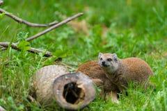 Mangosta del Fox que mira detrás de la madera Imagenes de archivo