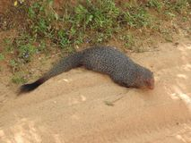 Mangosta, en la isla de Sri Lanka Retrato del primer de una mangosta imágenes de archivo libres de regalías