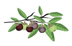 Mangostanes púrpuras y verdes frescos en rama de árbol Imagen de archivo