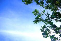 Mangostanfrucht-Baum-Blätter, blauer Himmel Stockbild