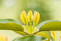 Mangostanfrucht Treetops Lizenzfreie Stockfotografie
