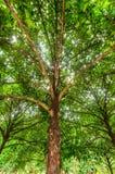 Mangostanfruchtbaum Stockbilder