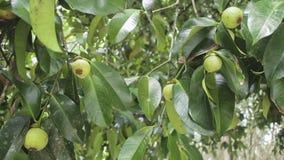 Mangostanfruchtfruchtfall auf dem Baum Stockfotografie