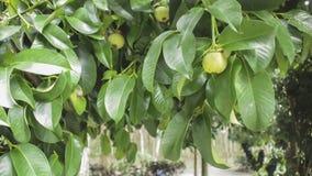 Mangostanfruchtfruchtfall auf dem Baum Stockfotos