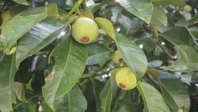 Mangostanfruchtfruchtfall auf dem Baum Lizenzfreies Stockfoto